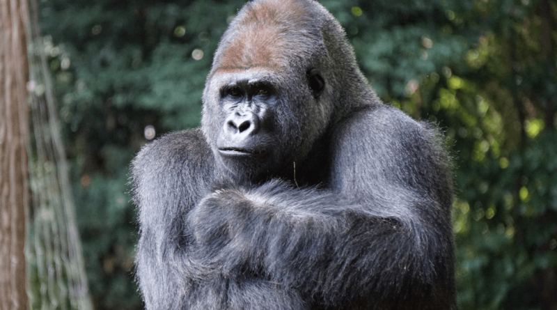 50 Interesting and Fun Gorilla Facts